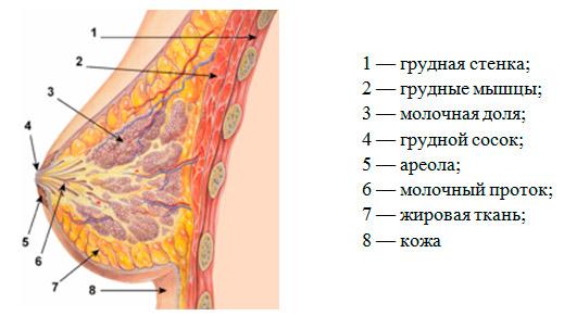 Операции при раке молочной железы: разновидности и возможности